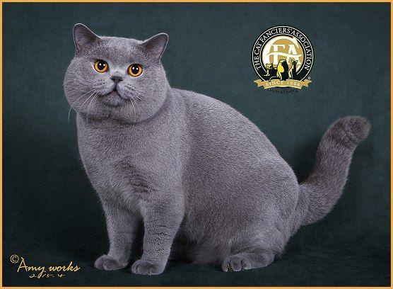 Gcd Nw Atzelhof S Blue Berlin Blue Male British Shorthair Best Cat In Other International Division British Shorthair Cats Fancy Cats British Shorthair