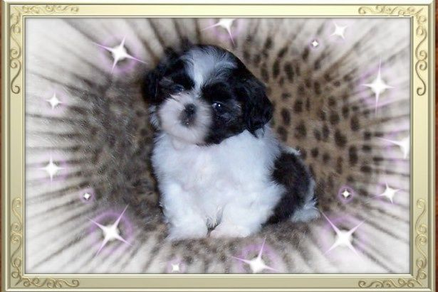 Brindle & White Imperial Shih Tzu puppy from Imperial Shih