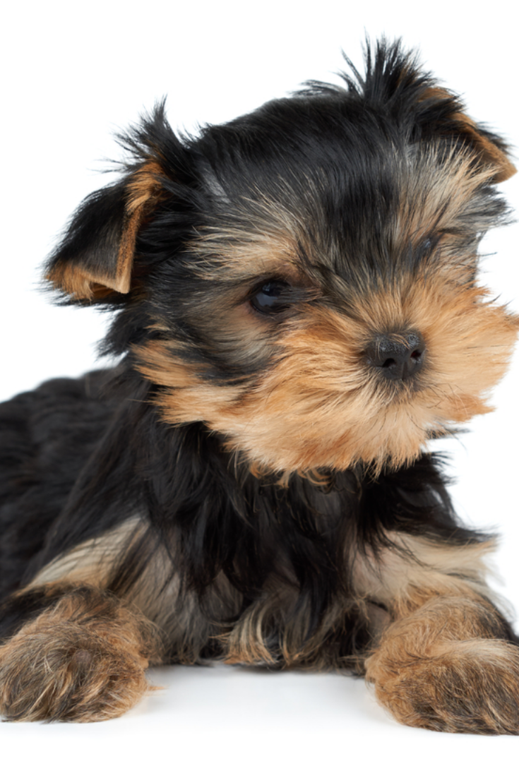 One Puppy Of The Yorkshire Terrier Tilted Head On White Yorkshireterrier Yorkshire Terrier Puppies Yorkshire Terrier Terrier