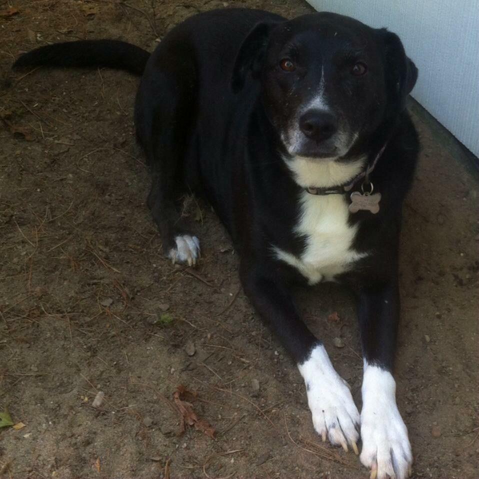 Borador Dog For Adoption In Southampton Ny Adn 664884 On