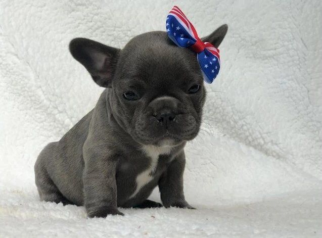 French bulldog puppies for sale in Texas, USA Call (410