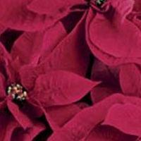 Poinsettia Etoile De Noel Culture Taille Entretien Bio