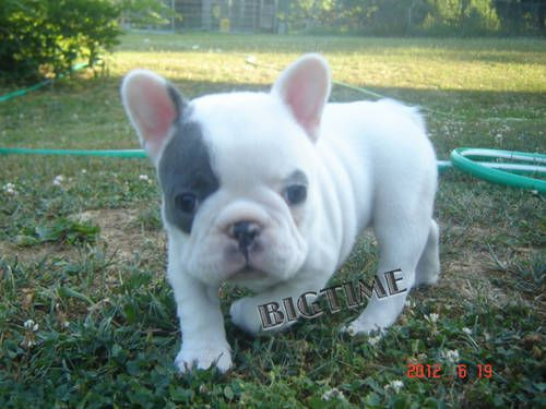 AKC Blue & White Pied Female French Bulldog