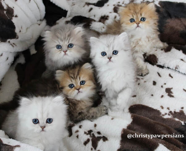 Silver Doll Face Persian Kittens For Sale In Missouri Christypaw Persians In 2020 Persian Kittens Persian Kittens For Sale Kittens