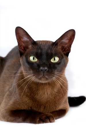 Brown Burmese, we have one of these, his name is Spanky