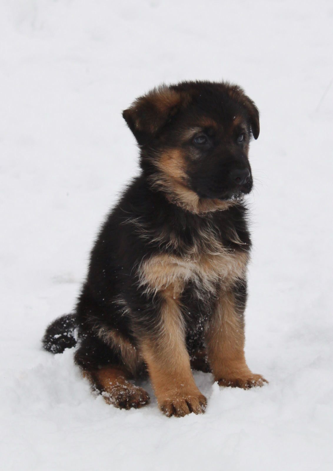 Small Select Breeder Producing Strong Sound And Healthy Dogs From