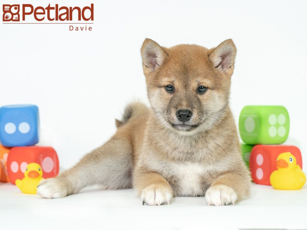 Petland Florida has Shiba Inu puppies for sale! Check out