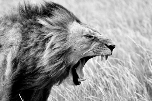 Violent Love! The Lion of the Tribe of Judah...