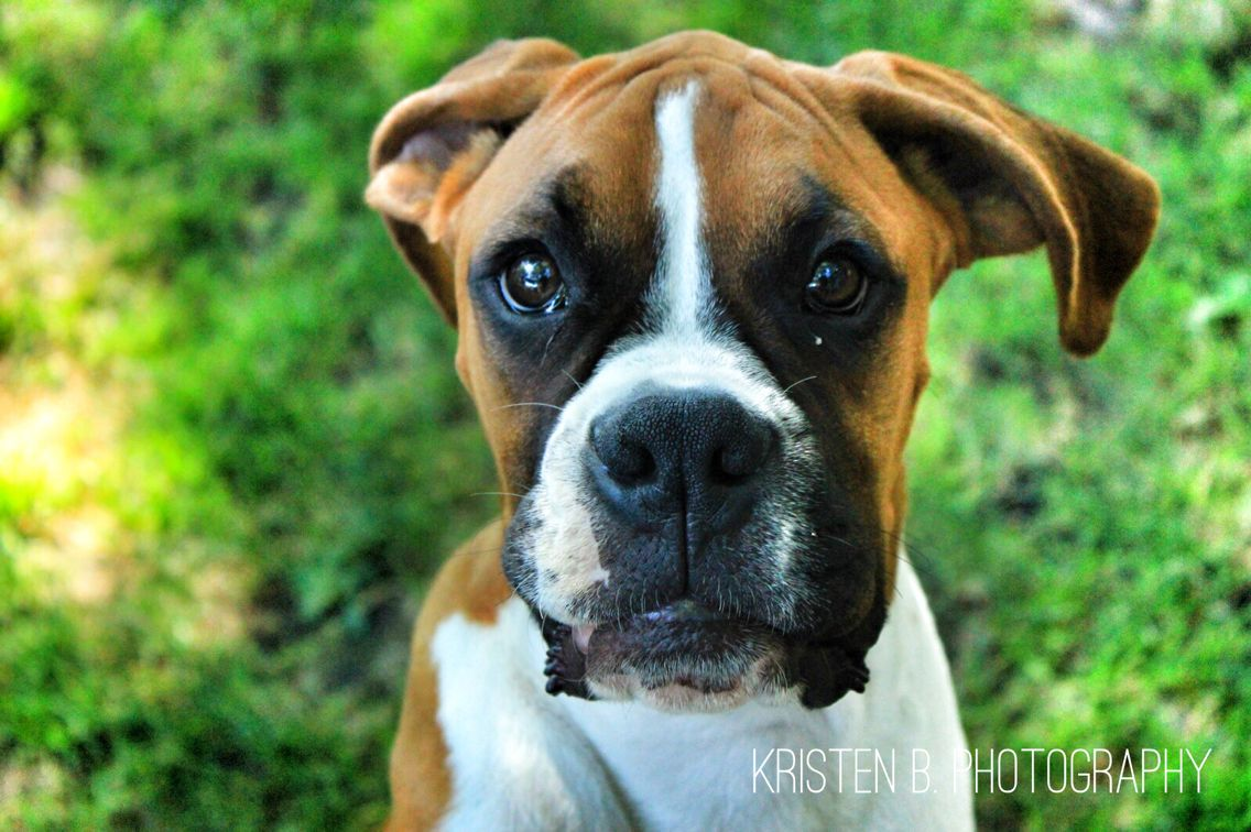 Boxer Puppy Puppies, Dogs, Photography