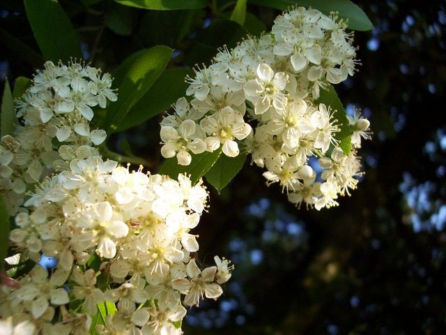 These Trees Native To North America Are A Type Of Hawthorn But Without The Distinctive Leafcanopywhite Flowersthe