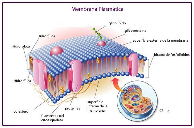 Resultado De Imagen Para Membrana Plasmatica Y Sus Partes Membrana Plasmatica Biologia Celular Celula Procariota Y Eucariota