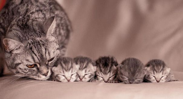 85 Proud Cat Mommies With Their Kittens Kittens Cutest Animals Beautiful Cats