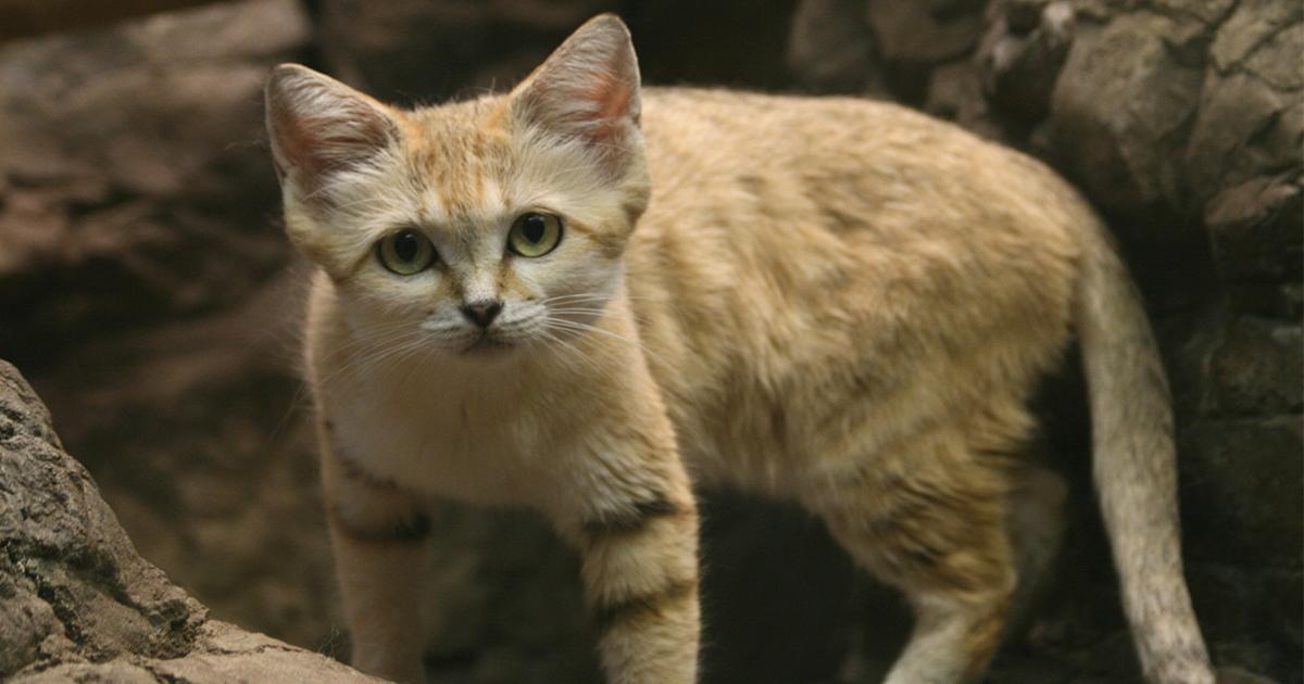 woestijn-kat
