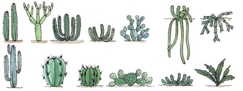 Ii todas las variedad de cactus y clases de cactus for Cactus variedades
