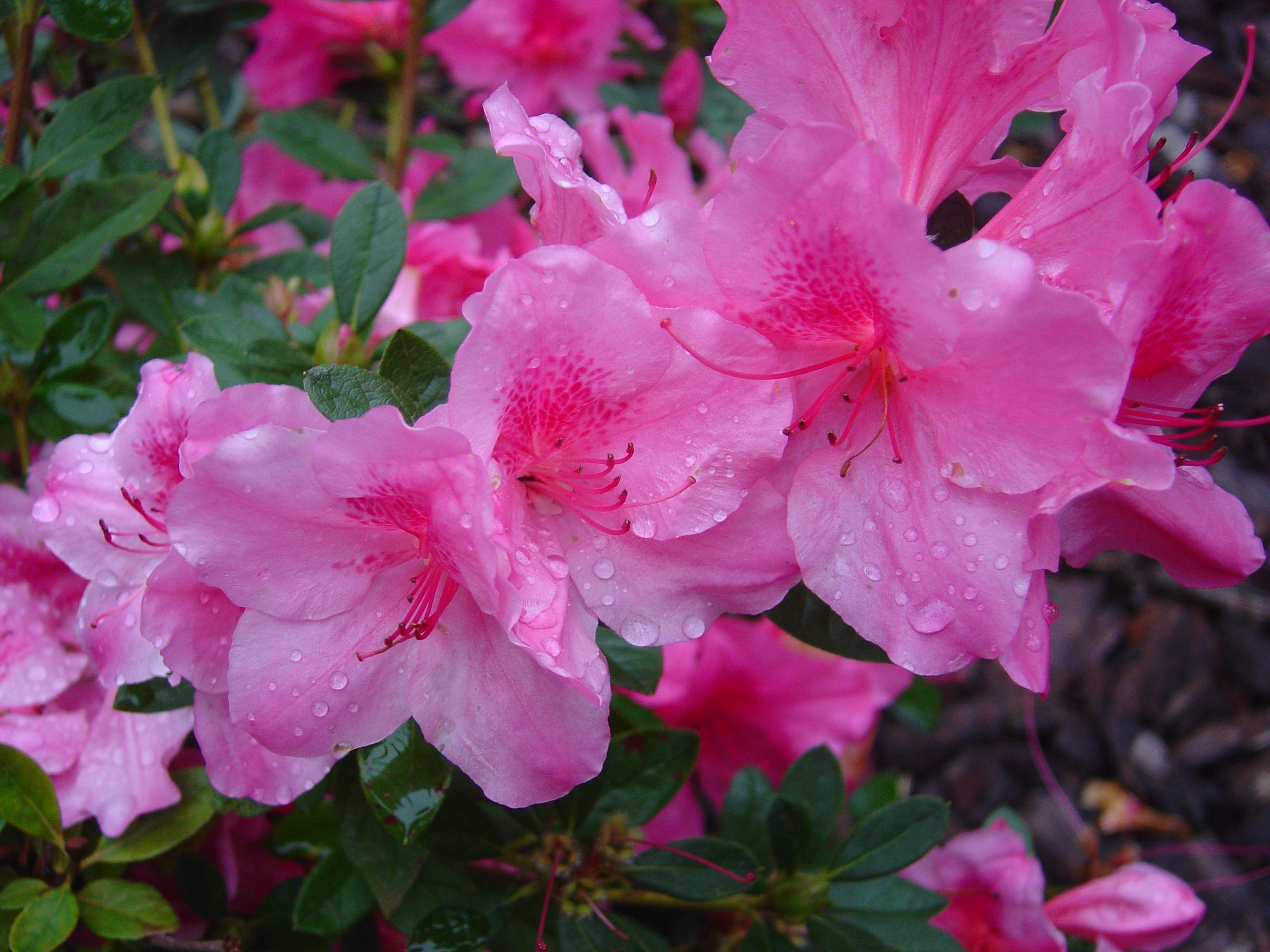 Pity The Poor Azalea Azalea Flower Flower Essences Flowers