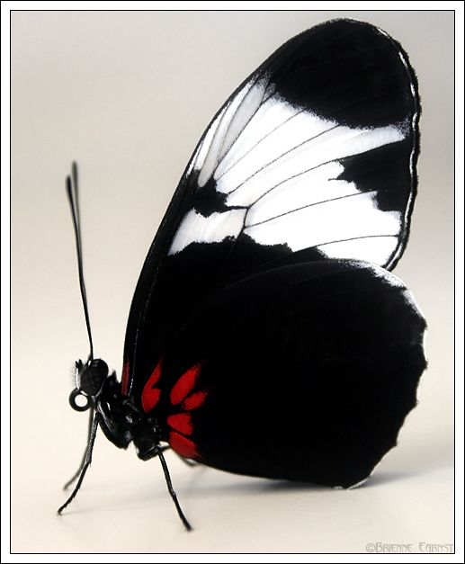 Whats White Black And Red By Oobrieoo 小さな生き物 蝶 蛾