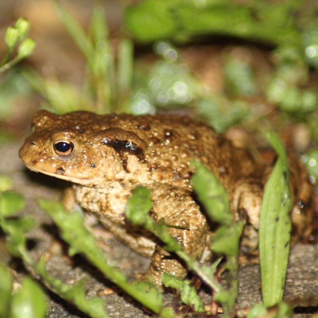 Nachtlicher Besucher Im Garten Bufobufo Krote Amphibien Garten Visitor Besucher Erdkrote Amphibien Garten