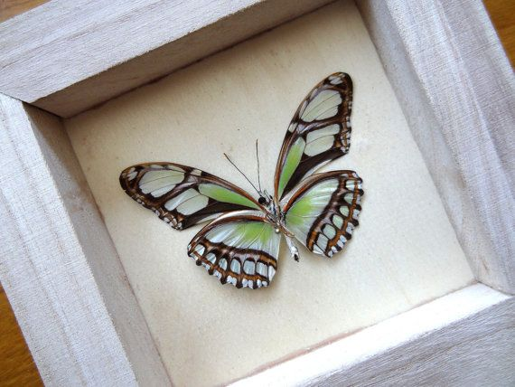 Real Philaethria Dido Framed - Taxidermy - Home Decoration - Collectibles