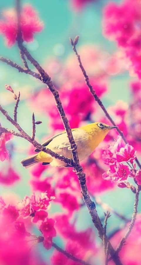 cherry blossom hd wallpaper iphone