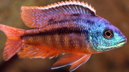 Protomelas Taeniolatus Red Empress Cichlids Malawi Cichlids African Cichlids
