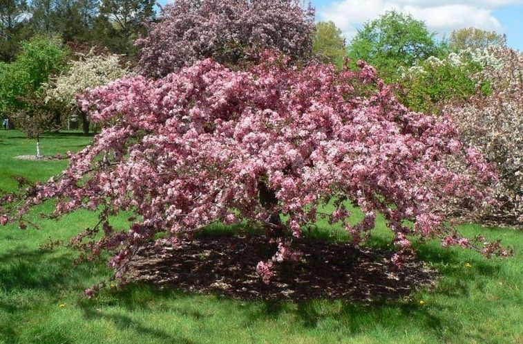 The pink princess crabapple has rose pink flowers with a single row the pink princess crabapple has rose pink flowers with a single row of petals the fruit is small and red and provides winter interest mightylinksfo
