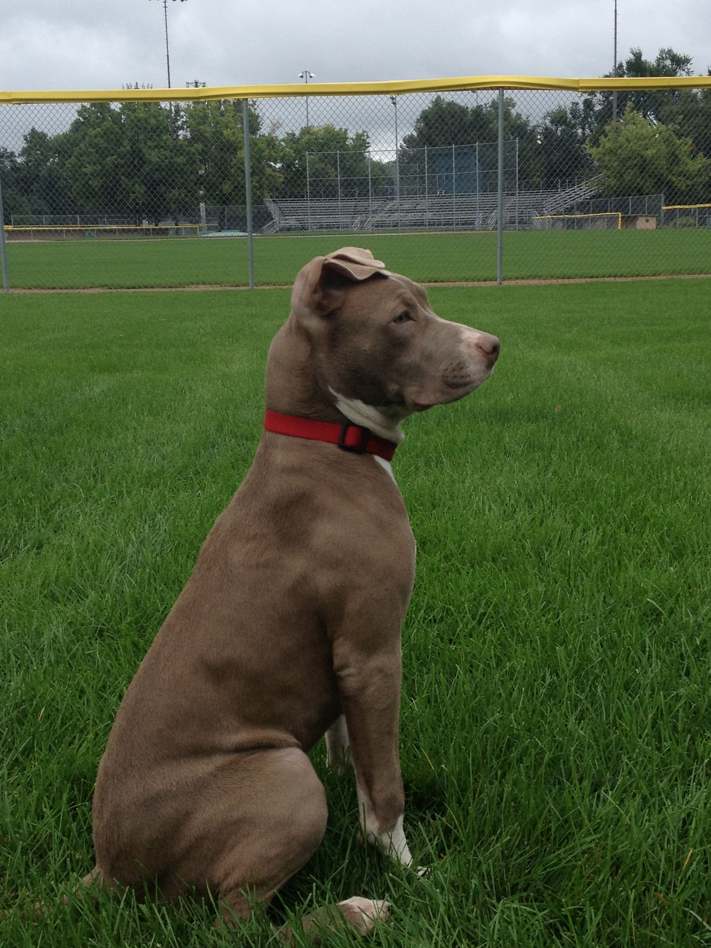 I love Weimaraner and Lab mix Dogs! | I want a puppy ... |Weimaraner Lab Pit Mix