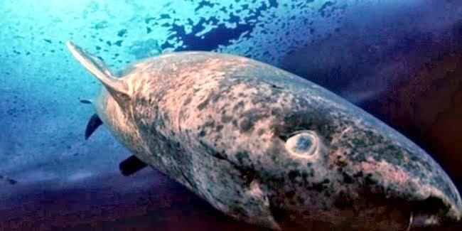 baa44cdda pacific sleeper shark