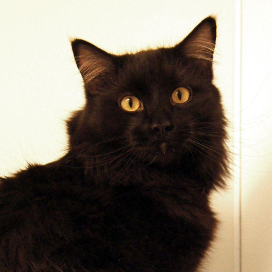 Merlot Is A Handsome Black Cat With Silky Medium Length Fur Fu