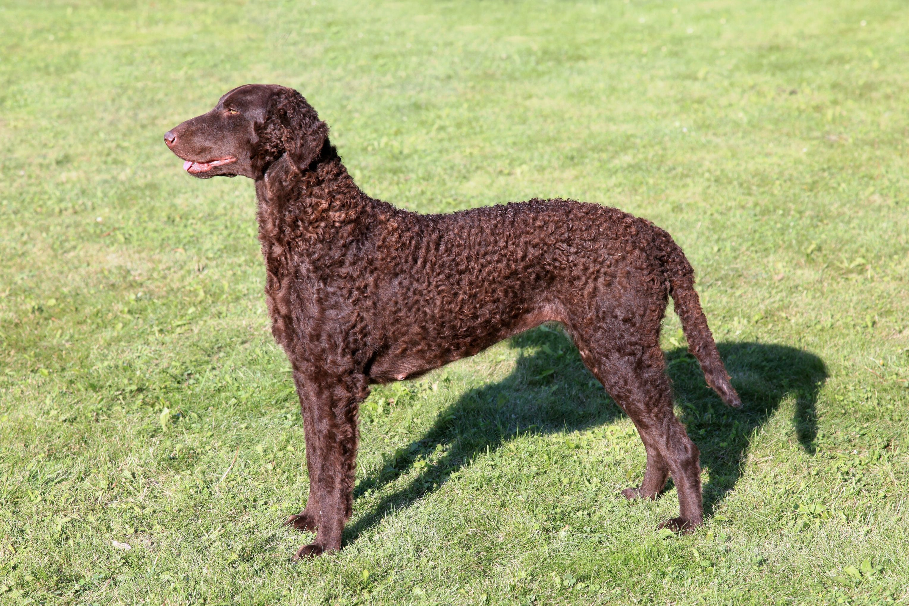 Pup Toys For Curly Coated Retriever Curly Coated Retriever Dog Breeds Puppies