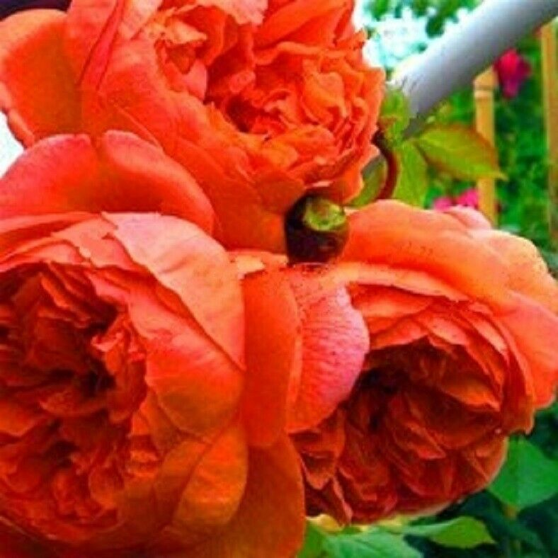 Garden & Patio Deep Orange Tree Peony 10 Pcs Seeds Hardy Perennial Buy 2 Get 1 Extra Free Other Plants, Seeds & Bulbs
