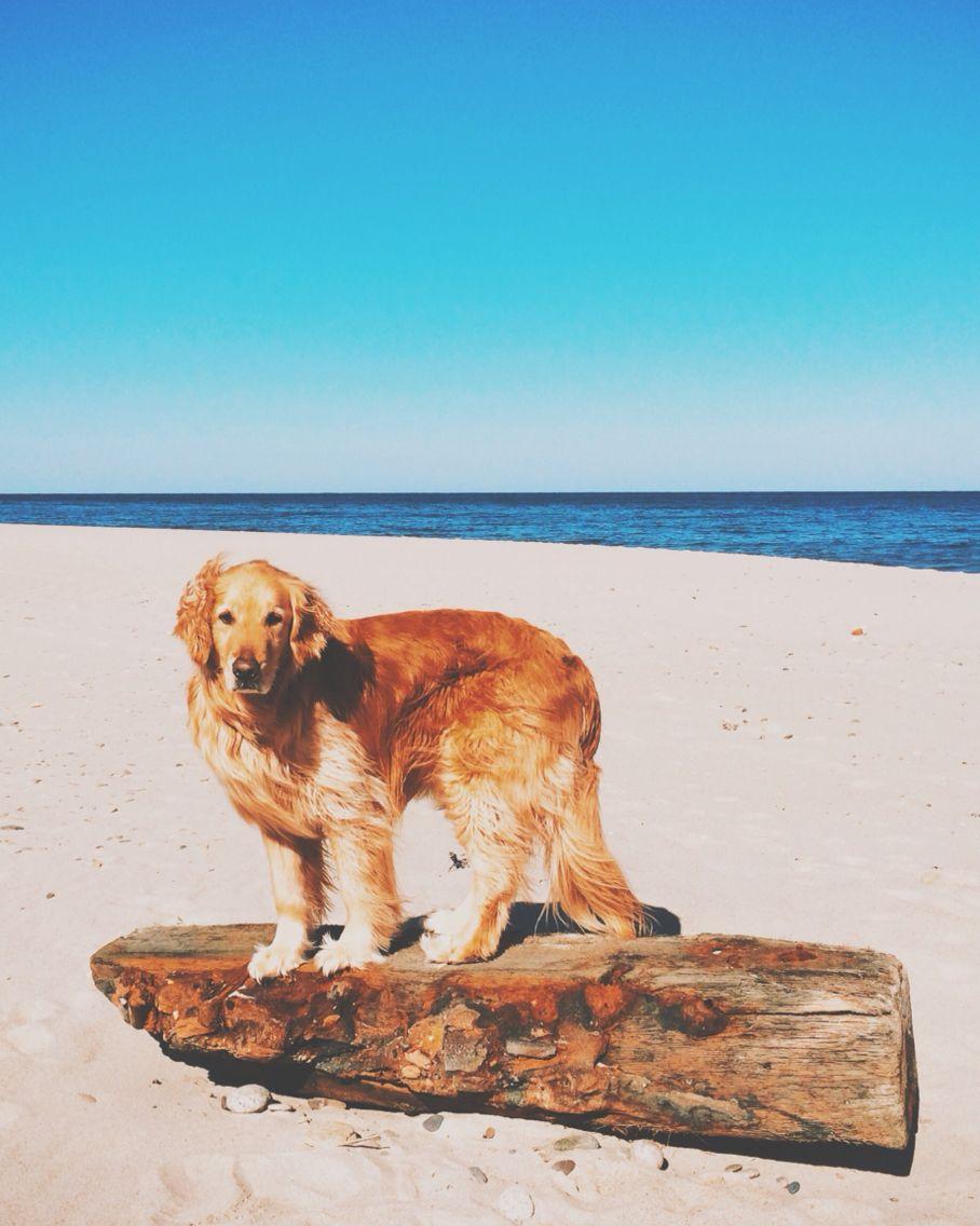 Cape Cod Golden Nauset Beach Cape Cod Golden Retriever