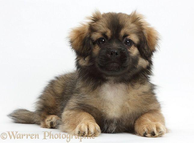 Tibetan Spaniel Dog Puppy Photo Puppy Dog Photos Spaniel Dog Puppies