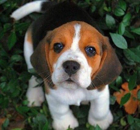 Look At This Precious Face Cute Beagles Cute Animals Beagle Puppy