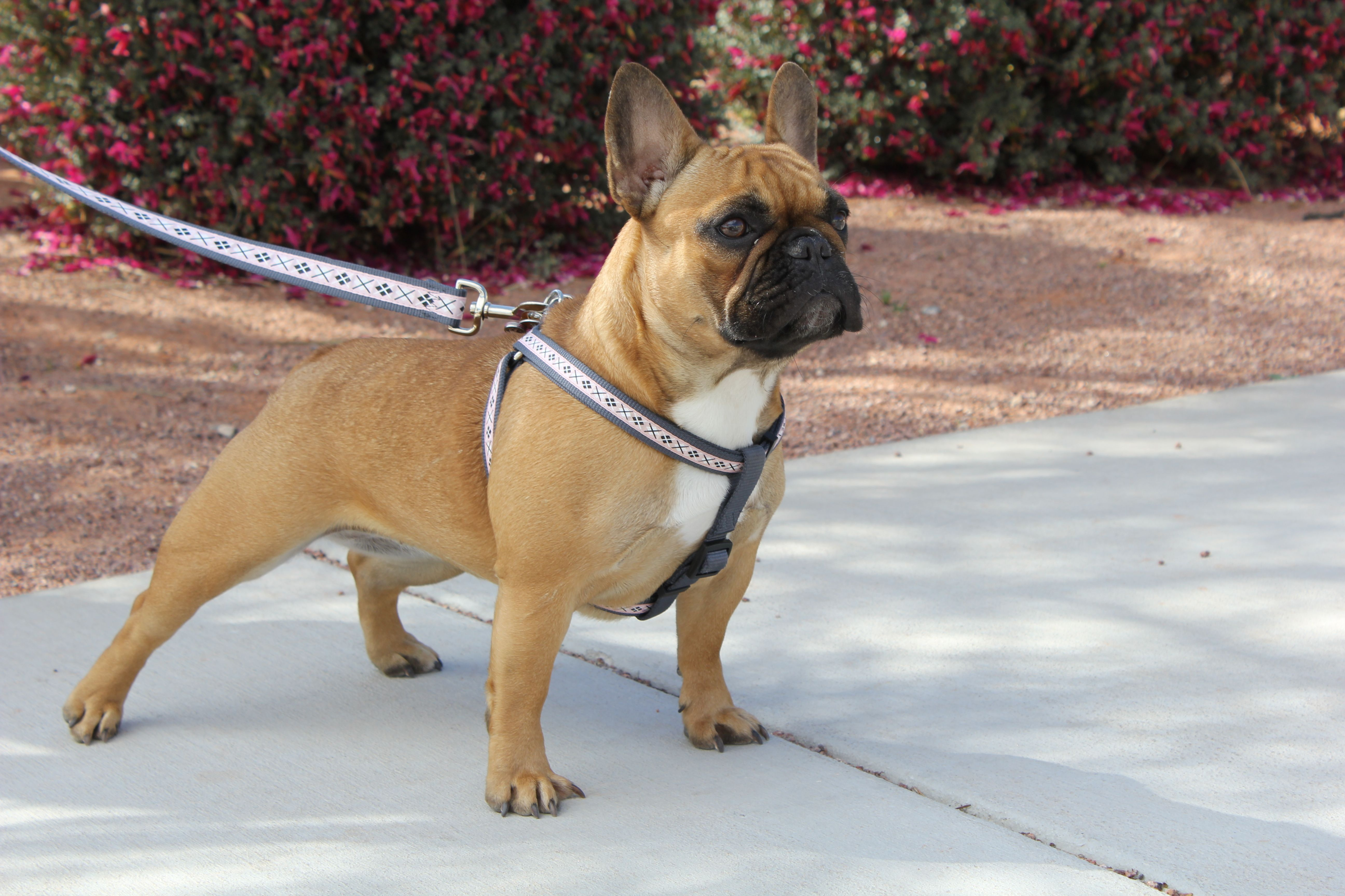 Red-fawn female french bulldog | Frenchies | Pinterest ...