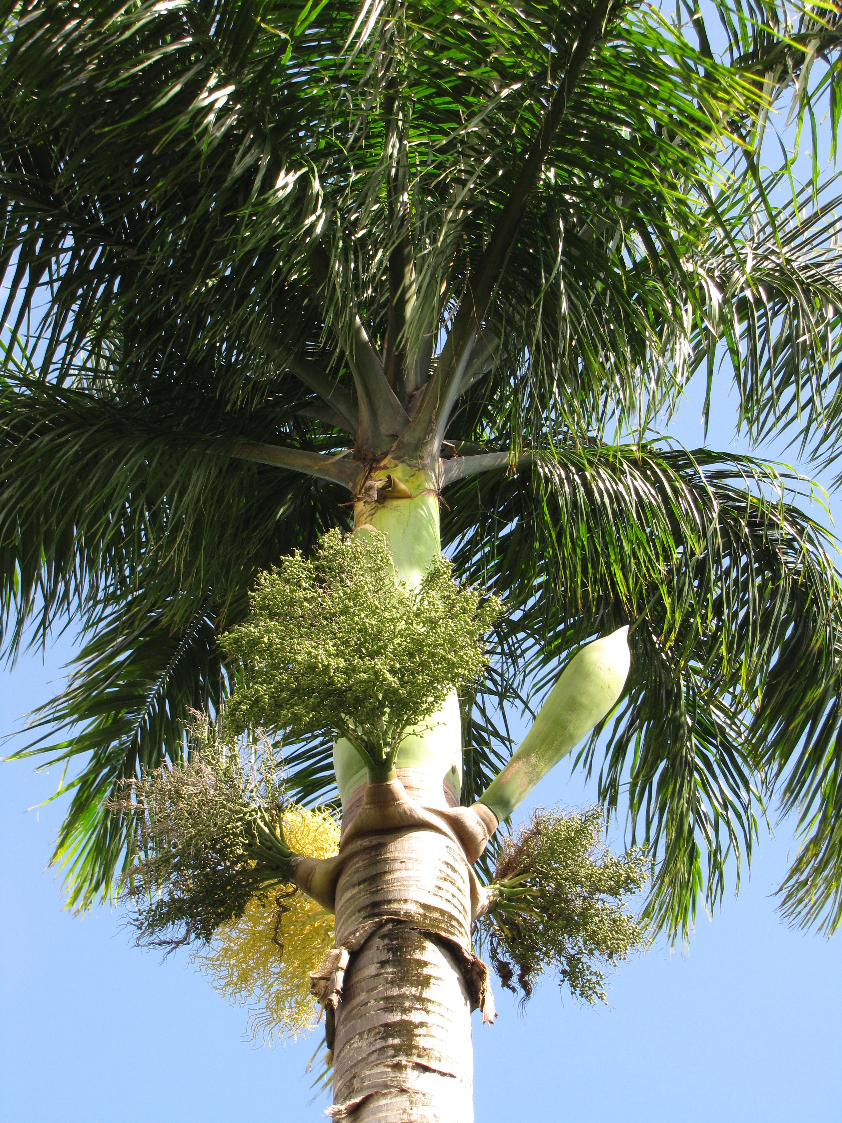 royal palm trees pinterest growing tree tree. Black Bedroom Furniture Sets. Home Design Ideas