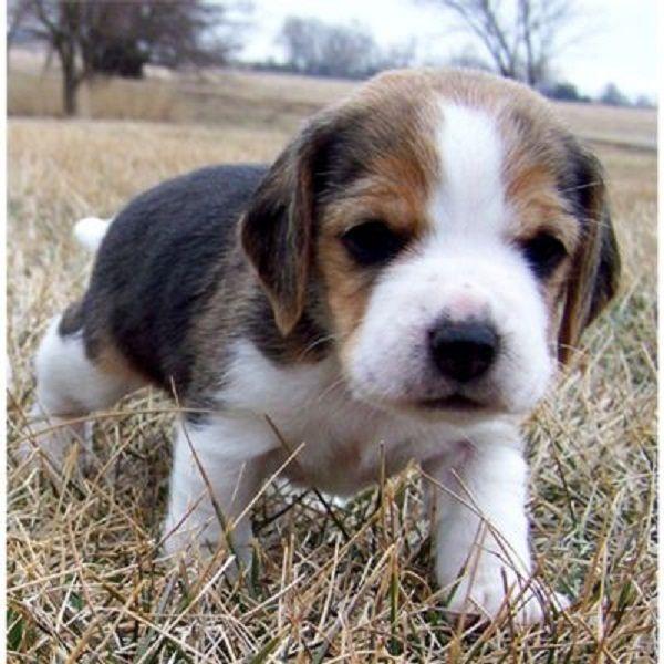 beagle puppies ...