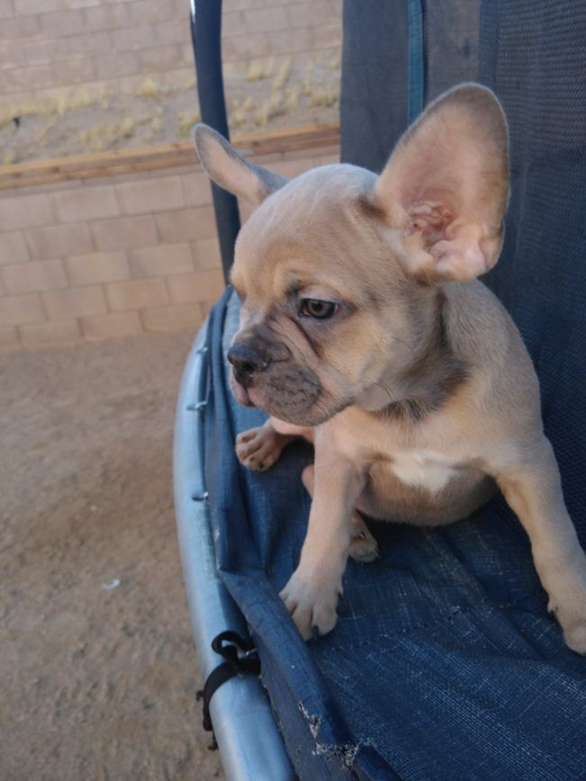 King Arthur French Bulldog Adopt French Bulldog S For Sale At