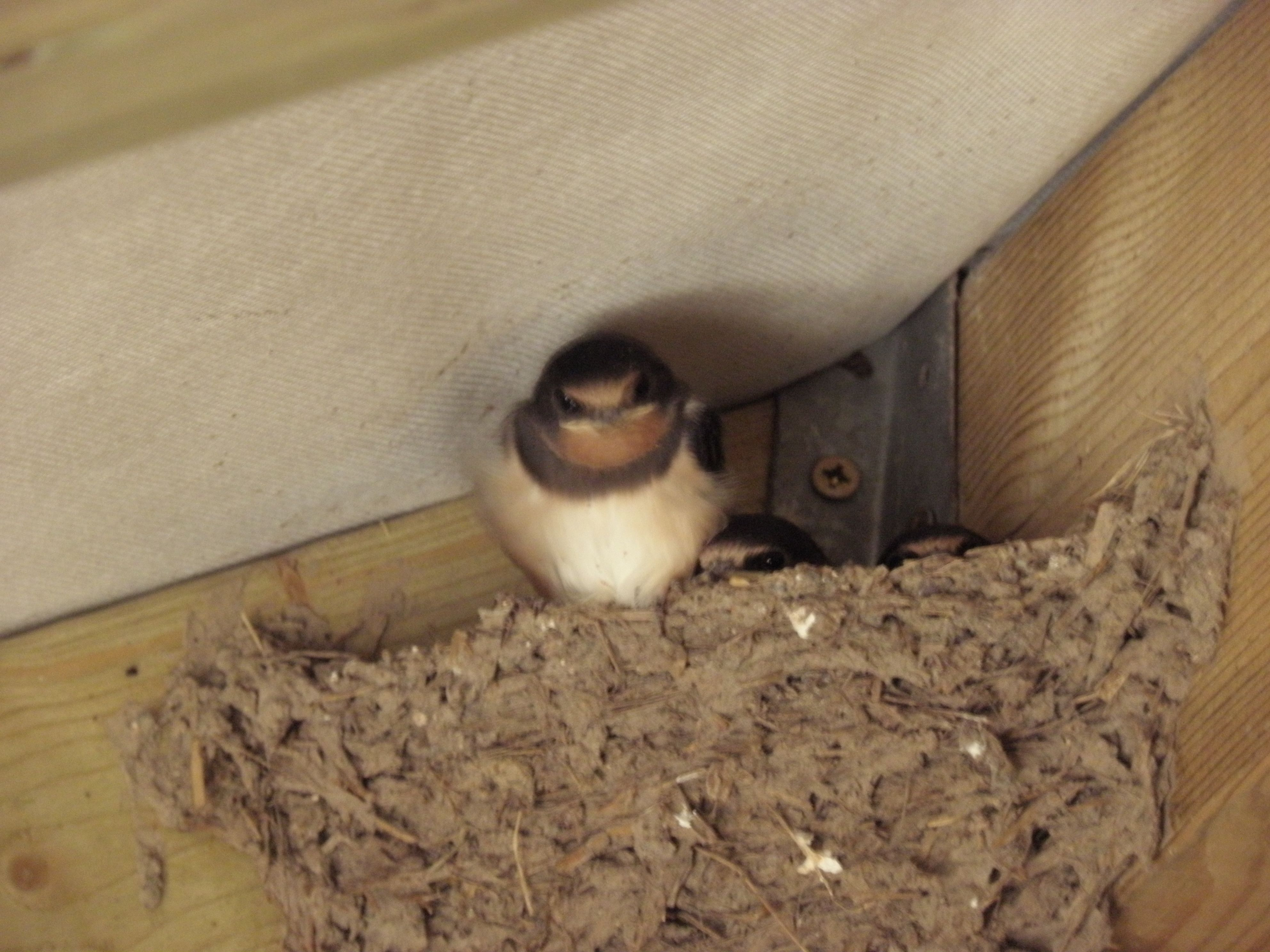 Our baby Swallows are nearly ready to fly the nest. we're ...
