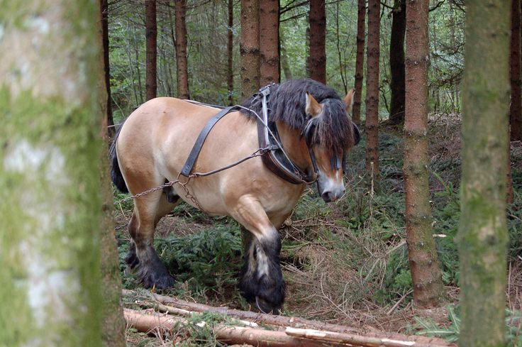The Largest Living Horse In The World He S A Belgian Draft Horse