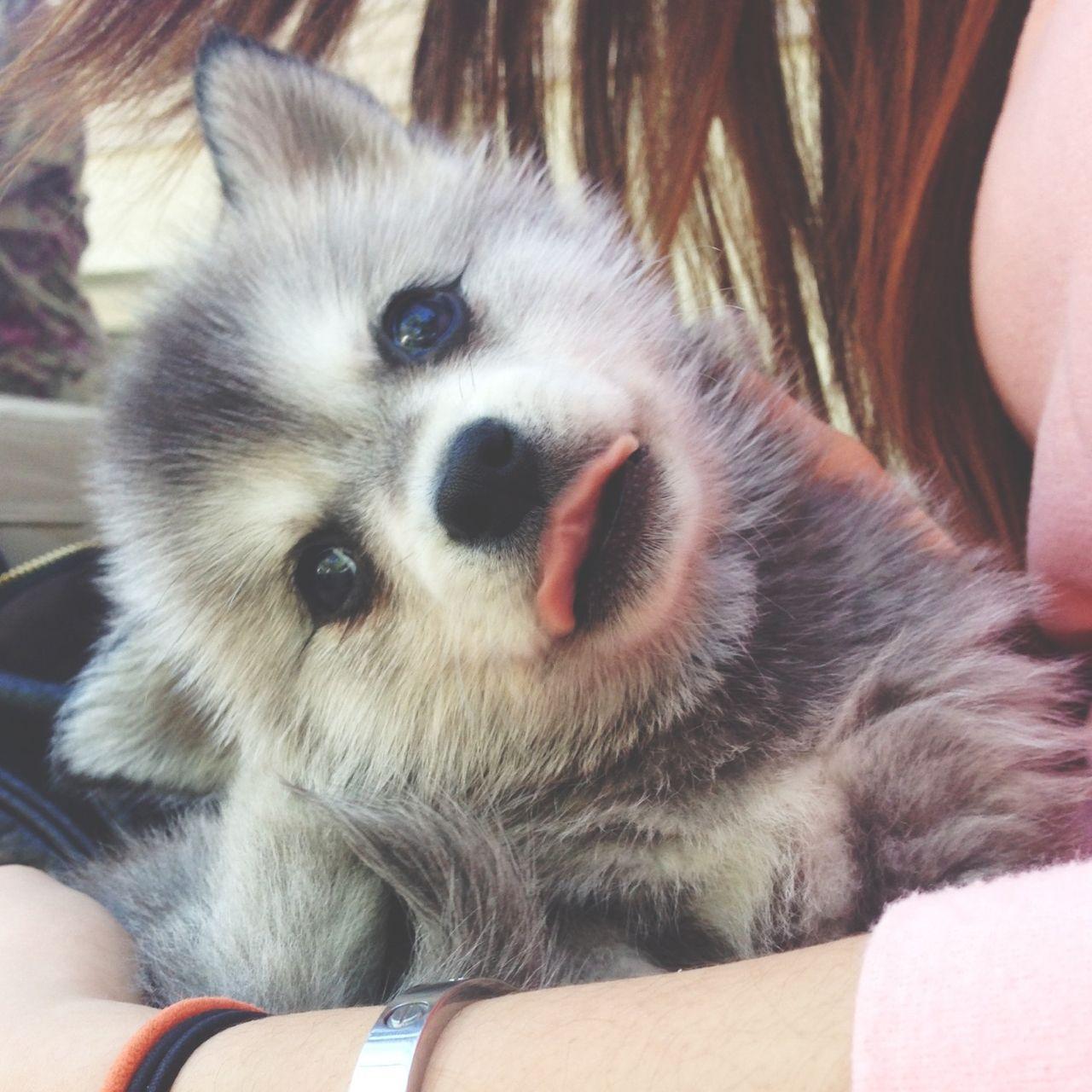 Miniature Husky Price Mini Husky Puppies Cutest Animals On