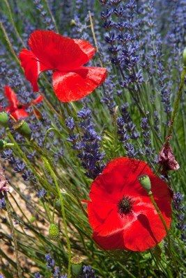 Lavender and poppies, won't get more French than this