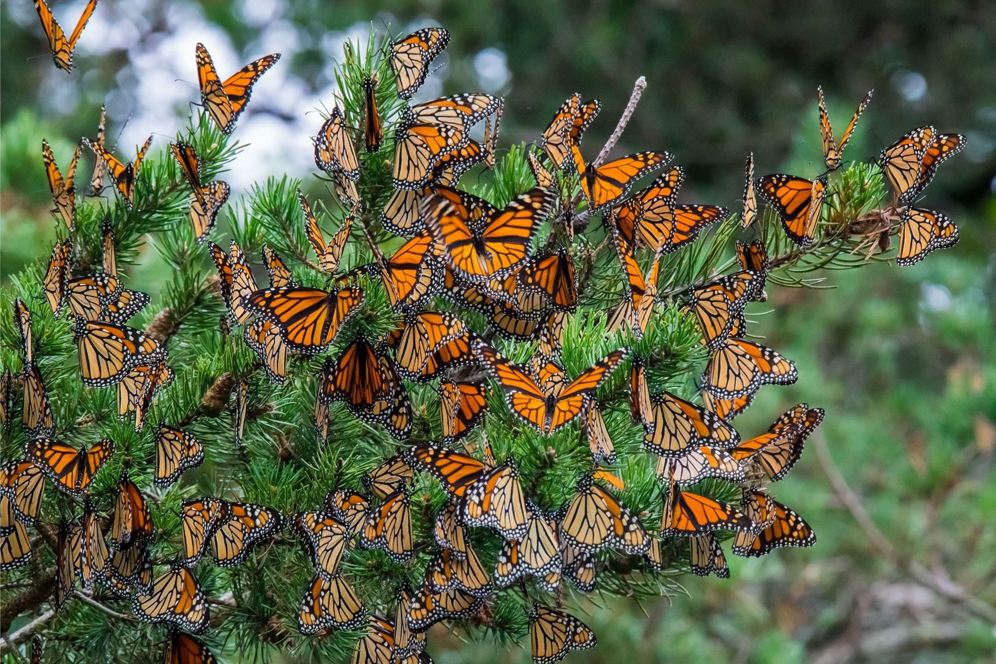 Butterflies monarch butterfly monarch nature lover