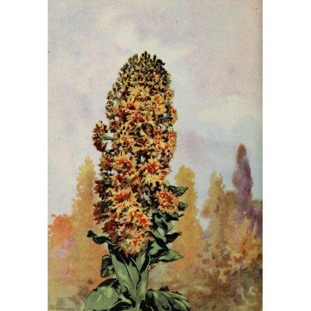 Garden Flowers 1926 Mignonette Canvas Art - Myron Van Brunt (24 x 36)