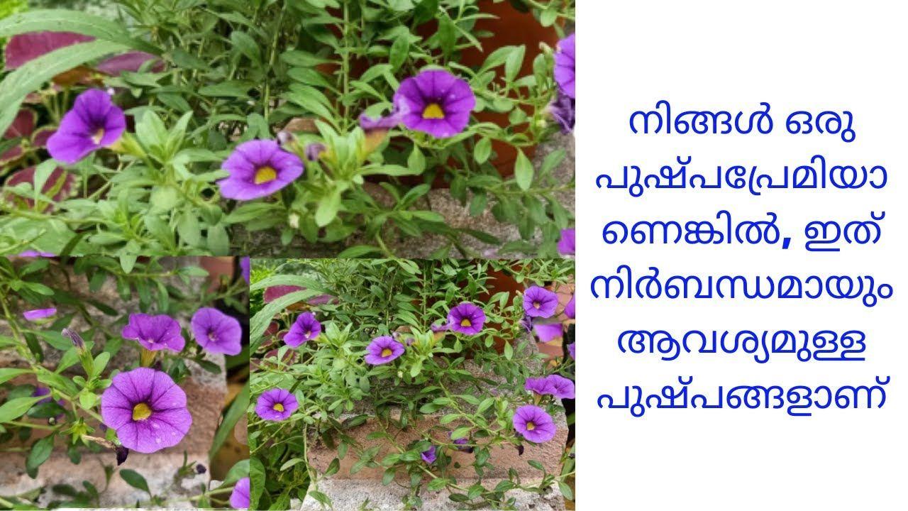 Mini Petunia Million Bells Care Tips Malayalam In 2020 Petunias Plant Lover Million Bells