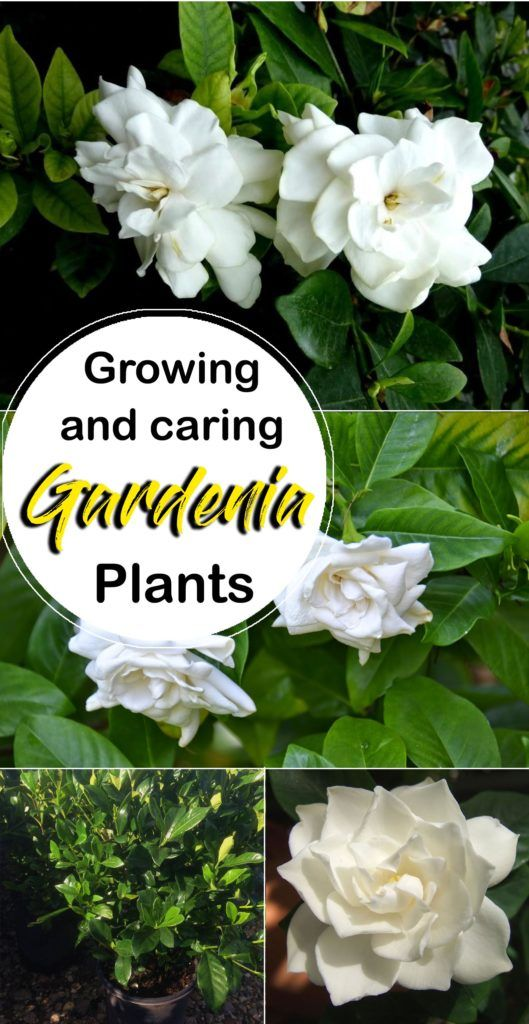 Photo of Growing Gardenia plant | How to grow Gardenia in a container –