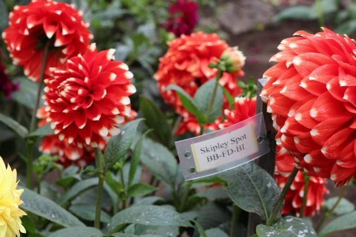 how to not kill your dahlias