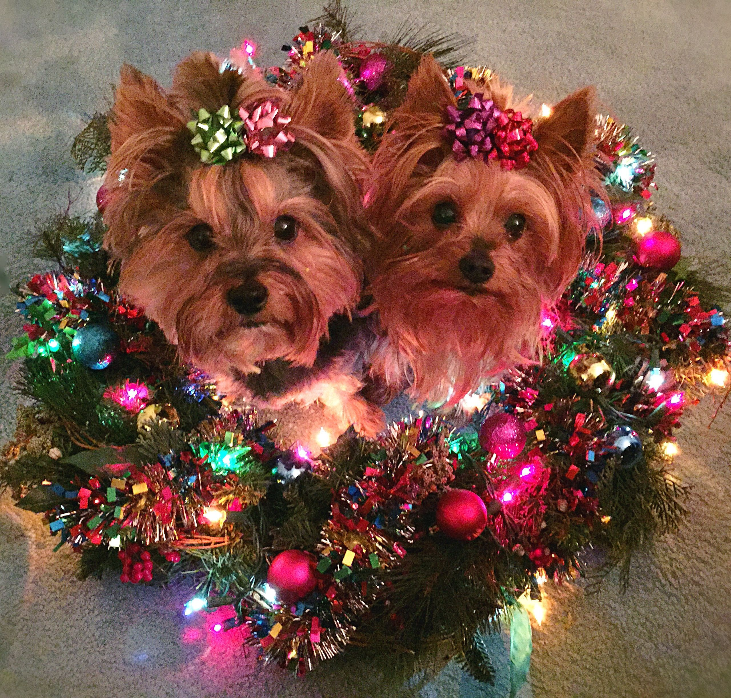 Christmas Yorkies Yorkshireterrier Animals Yorkie Yorkshire