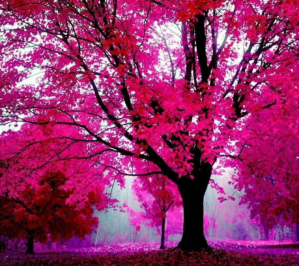 Pink Tree Goodness I Love God For This I Wish I Had One Pink Nature Hd Pink Wallpapers Pink Trees