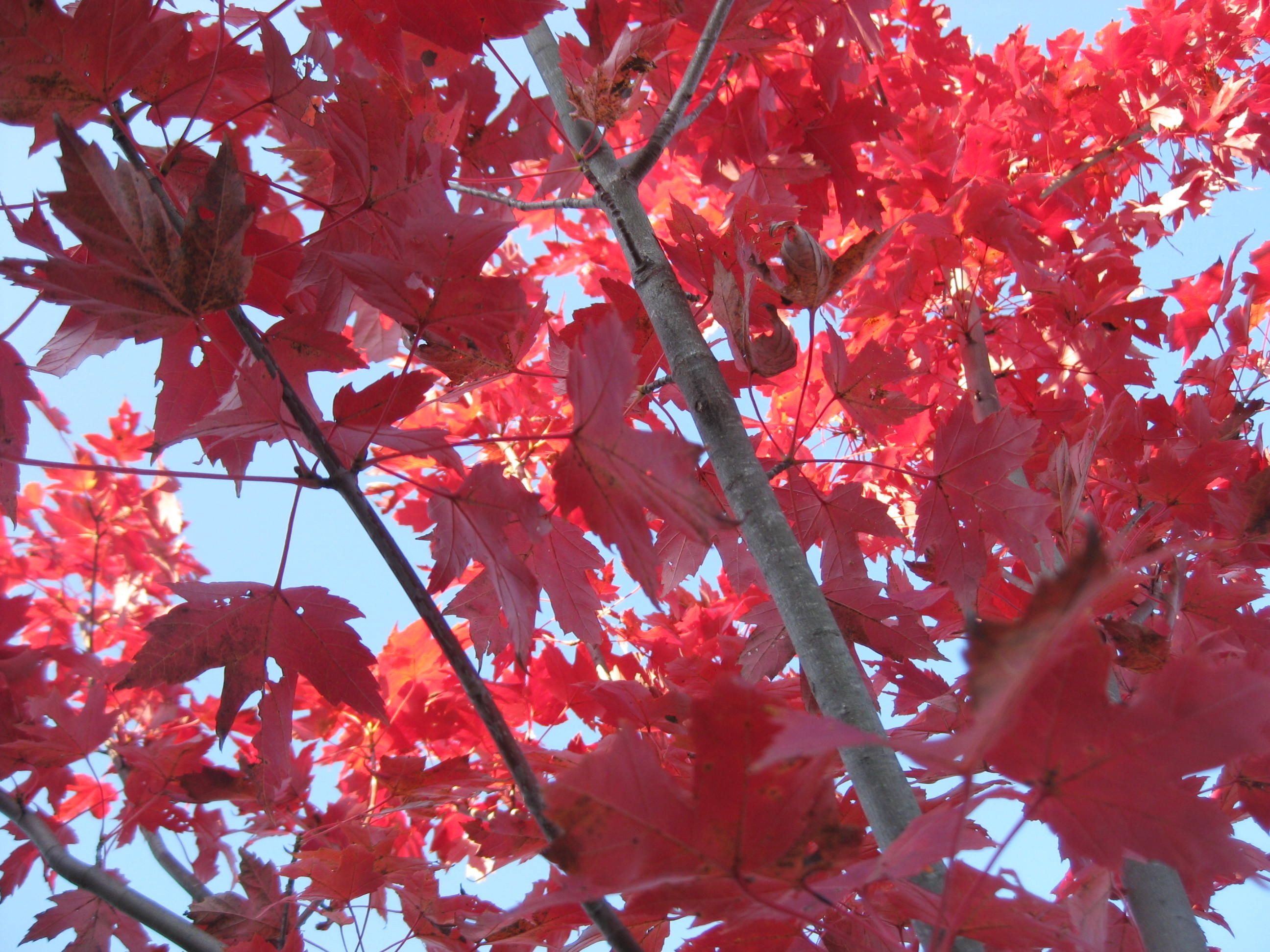 I love Fall for this very reason - RED TREES