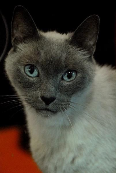 Hello I'm Oscar. I'm a Tonkinese cross staying at the